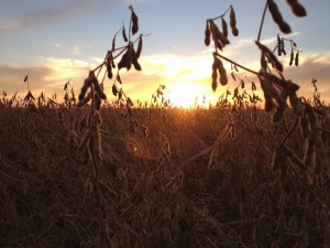 Christian County Soybeans