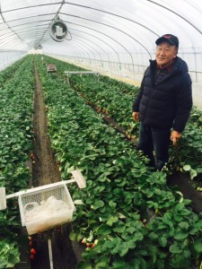 A third-generation Japanese strawberry farmer gives a tour of one the greenhouses used for production.  The strawberries are sold into the local market.